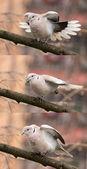 Dove (streptopelia decaocto)-Bird gymnastics — Stock Photo