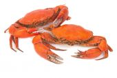 Cooked whole dungeness crab — Stock Photo