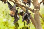 Flying foxes hanging on the tree — Stock Photo