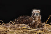 Young Brahminy Kite , Red-backed Sea-eagle in the nest — Foto de Stock