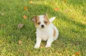 Portrait of chihuahua puppy in green nature — Stock Photo