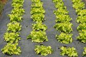 Rows of fresh green lettuce growing in a field on organic farm — Stock Photo