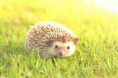 Brown hedgehog , African pygmy hedgehog — Stock Photo