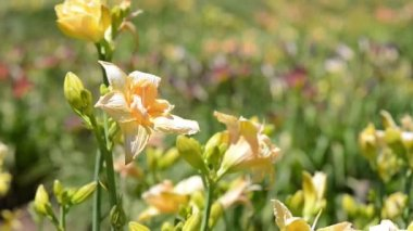 Kwiat lilii — Wideo stockowe