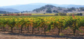 Napa Valley California Vineyard in Fall Autumn — Stok fotoğraf