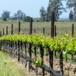 Napa Valley Vineyards in the Spring — Stock Photo #53434085