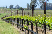 Napa Valley Vineyards in the Spring — Photo
