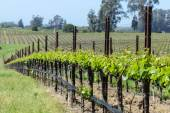 Napa Valley Vineyards in the Spring — Stok fotoğraf