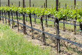 Napa Valley  California Vineyard in Spring — Stock Photo