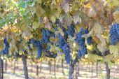 Grapes on the Vine in Autumn — Stock Photo