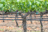 Grapes Vines in Vineyard — Stock fotografie