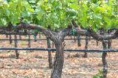 Grapes Vines in Vineyard — Stock fotografie