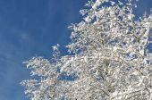 Snow Covered Branches against Blue Sky — Stock Photo