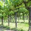 Grapevines in Spring — Stock Photo #60734833