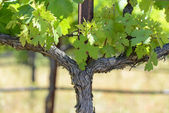 Grape Vine in Spring — Stock fotografie