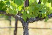 Grape Vine in Spring — Stock Photo