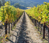 Napa valley california weinberg — Stockfoto