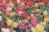 Colorful Tulips Garden — Stock Photo