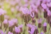 Spanish Lavender Flowers — Stock Photo