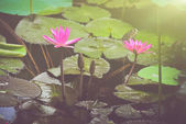 Pink Lotus with Sunlight — Stock Photo