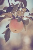 Apple on a Tree in a Vintage Film Style — Stock Photo