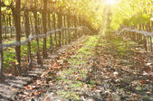 Vintage Vineyard in Autumn — Stock Photo