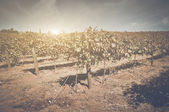Vineyard in Autumn with Vintage Film Style Filter — Stockfoto