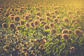 Sunflowers in field with Film Style — Stock Photo