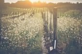 Vineyard in Spring with Vintage Filter — Stock Photo