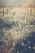 Vineyard in Spring with  Film Style Filter — Foto de Stock