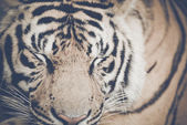 Tiger  with Retro Filter — Stock Photo