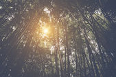 Bamboo Forest with sunlight — Stock Photo