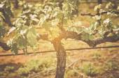 Grape wine tree — Stock Photo