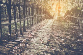 Vinice s modrá obloha na podzim — Stock fotografie