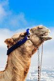 Camel on the mountain — Stock Photo