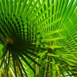 Green leaves of palm tree in the sunshine — Stock Photo #59466879