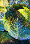 Structure in savoy leaf — Stock Photo