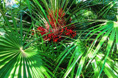 Green palm leaves with red fruit in the sunshine — Stock Photo
