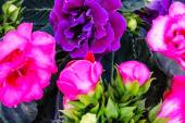 Purple and violet Gloxinia flowers — Stock Photo