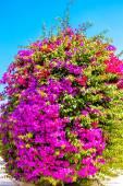 Gorgeous Bougainvillea in full bloom — Stockfoto