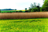 Landscape with reed field as a bird protection — Stock Photo
