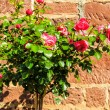 Pink stem roses in front of stone wall — Stock Photo #74487327