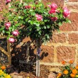 Pink stem roses and strawflowers in front of stone wall in a garden — Stock Photo #74487329