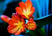 Clivia miniata-Natal lily, bush lily — Stock Photo