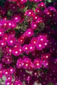 Natural pink cactus flowers in spring time — Stock Photo