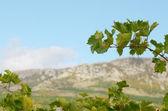 Blue grapes on vine — Stock Photo