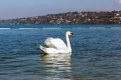 Graceful white Swan on a blue lake of Geneva city — Stock Photo