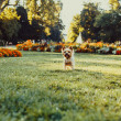 Yorkshire Terrier Dog running on the green grass — Stock Photo #80062214