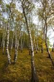 дерево березы — Стоковое фото