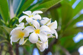 Plumeria (frangipani) flowers — Stok fotoğraf